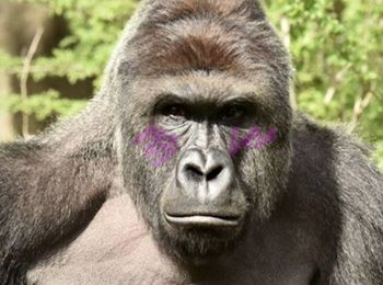 Harambe-Anime-Adaptation-Announced